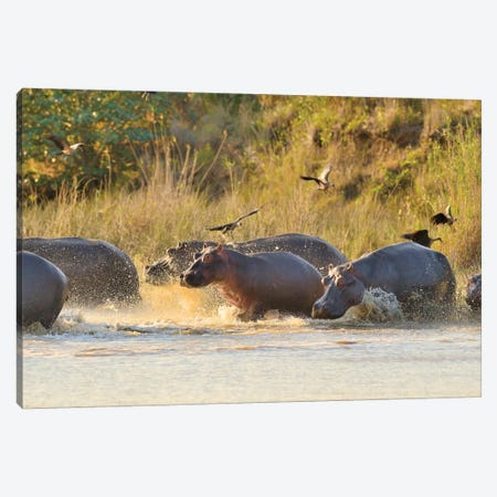 A Group Of Hippos Entering The River Canvas Print #ELM166} by Elmar Weiss Canvas Art
