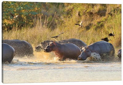 A Group Of Hippos Entering The River Canvas Art Print