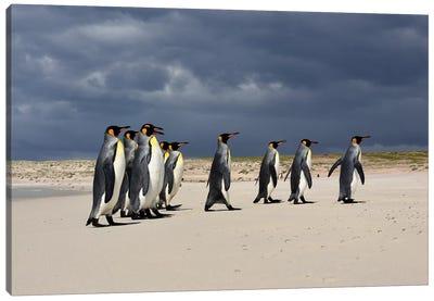 A Group Of King Penguins Walking Canvas Art Print