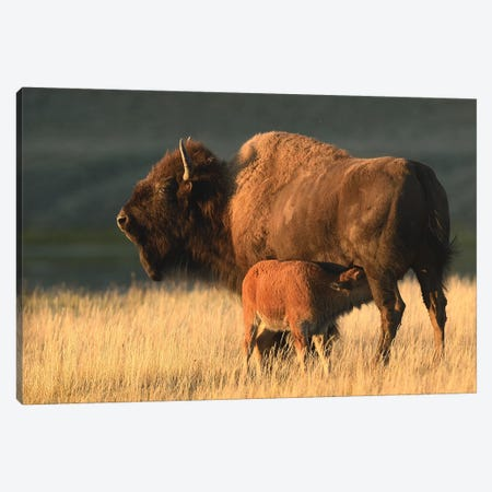 American Bison Feeding A Calf Canvas Print #ELM170} by Elmar Weiss Canvas Artwork