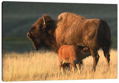 American Bison Feeding A Calf Canvas Art Print