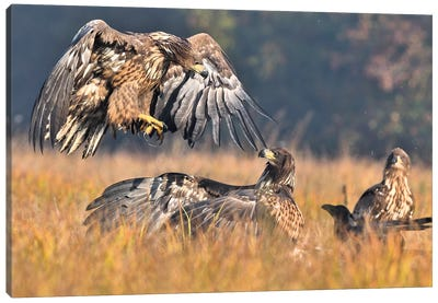 Attack - Sea Eagles Canvas Art Print