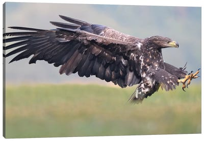 Attack -White-Tailed Eagle Canvas Art Print