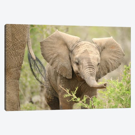 Baby Elephant. Canvas Print #ELM179} by Elmar Weiss Canvas Artwork