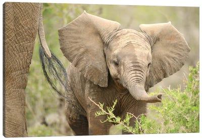 Baby Elephant. Canvas Art Print