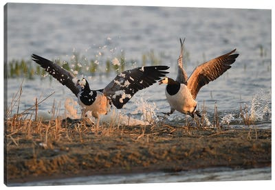 Barnacle Geese Foam Party Canvas Art Print