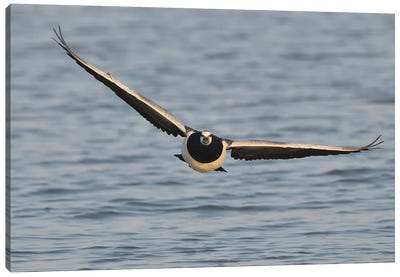 Barnacle Goose In Flight Frontal Canvas Art Print