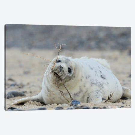 Beach Works - Grey Seal Pup Canvas Print #ELM191} by Elmar Weiss Canvas Art