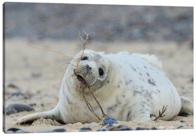 Beach Works - Grey Seal Pup Canvas Art Print