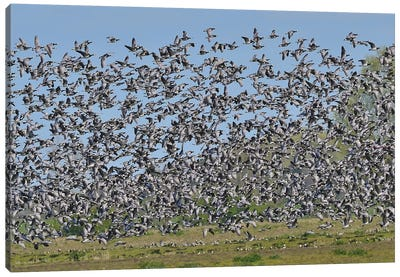 Barnacle Geese Migration Canvas Art Print