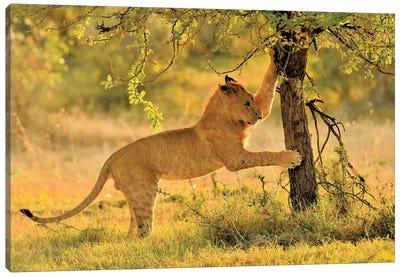 Cat Scatch Lion Canvas Art Print