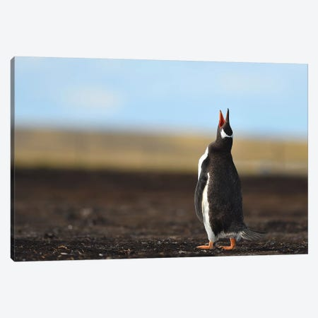 Calling Gentoo Penguin Canvas Print #ELM19} by Elmar Weiss Canvas Art Print