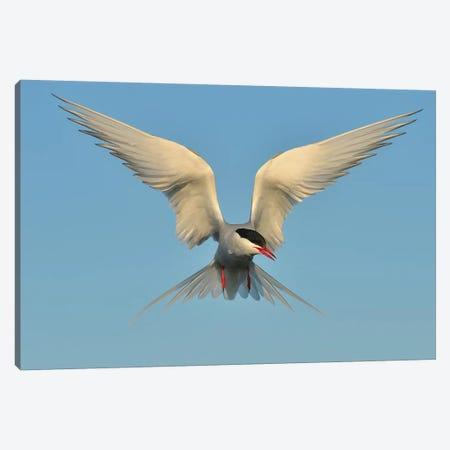 Arctic Tern Canvas Print #ELM1} by Elmar Weiss Canvas Artwork