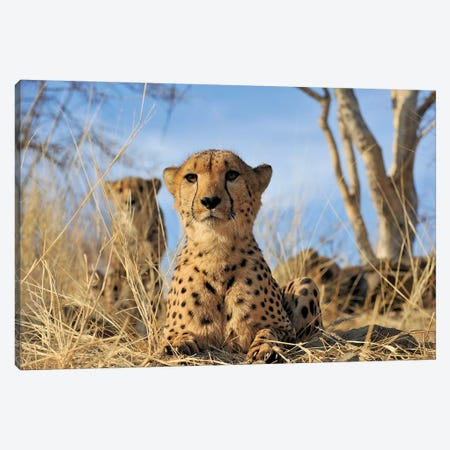 Cheetah - Close Up And Personal Canvas Print #ELM202} by Elmar Weiss Canvas Artwork