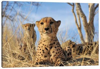 Cheetah - Close Up And Personal Canvas Art Print