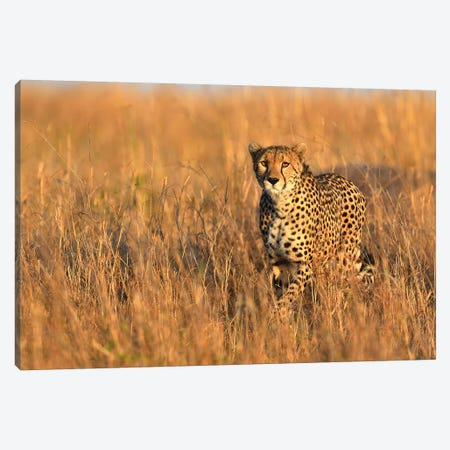 Cheetah Encounter Canvas Print #ELM203} by Elmar Weiss Canvas Art