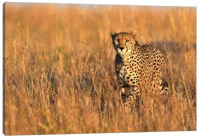 Cheetah Encounter Canvas Art Print