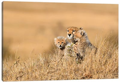 Cheetah Mother With Cubs Canvas Art Print