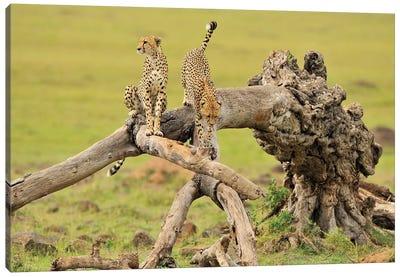 Cheetas On A Tree Canvas Art Print