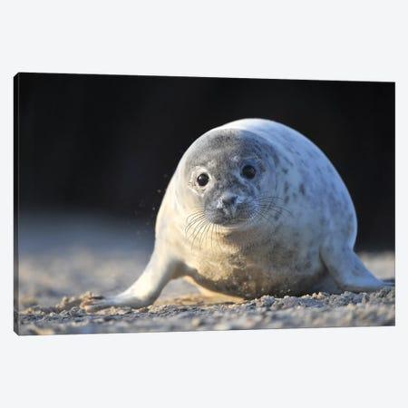 Crawling Grey Seal Pup Canvas Print #ELM208} by Elmar Weiss Canvas Art