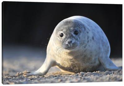 Crawling Grey Seal Pup Canvas Art Print