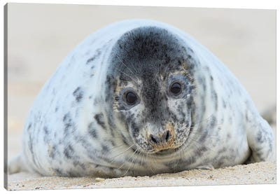 Cute Grey Seal Youngster Canvas Art Print
