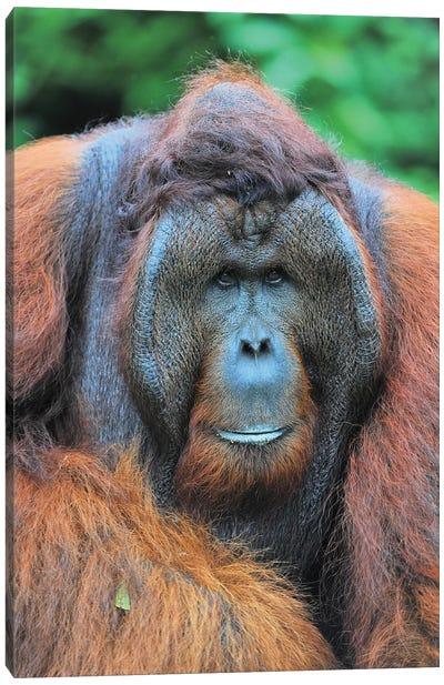 Dominant Male Orangutan Canvas Art Print