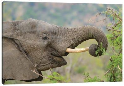 Elephant Enjoys Her Meal Canvas Art Print