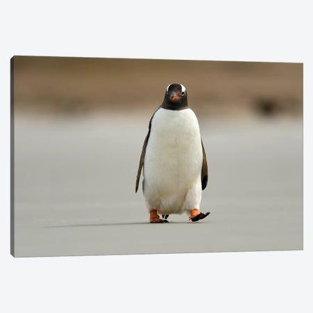 Encounter With A Gentoo Penguin Canvas Print #ELM225} by Elmar Weiss Canvas Art Print