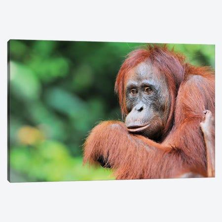 Female Orangutan Canvas Print #ELM226} by Elmar Weiss Canvas Print