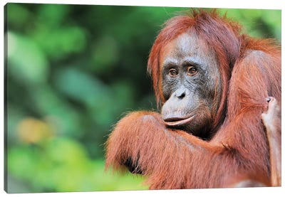Female Orangutan Canvas Art Print