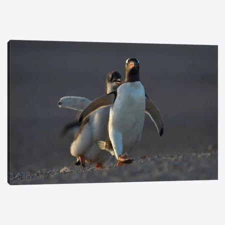 Gentoo Penguin Chicken Race Canvas Print #ELM237} by Elmar Weiss Canvas Art