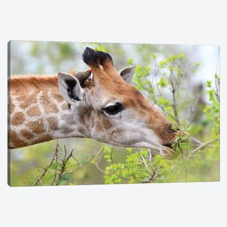 Giraffe Enjoys Her Meal 3-Piece Canvas #ELM239} by Elmar Weiss Art Print