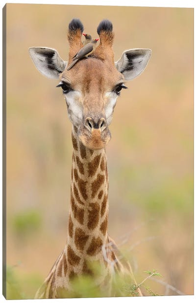 Giraffe With Oxpeckers Canvas Art Print