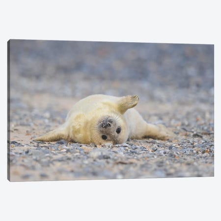Grey Seal Pup In Supine Position Canvas Print #ELM252} by Elmar Weiss Canvas Art Print