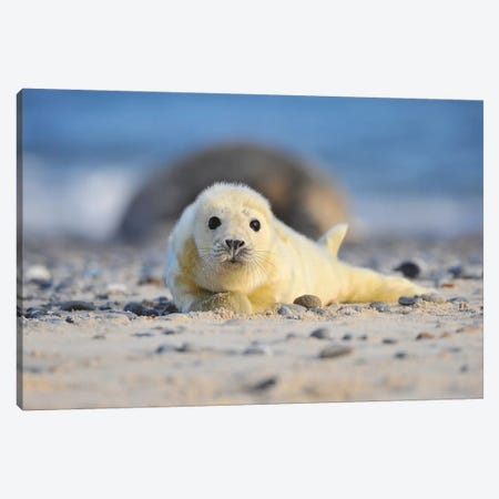 Grey Seal Pup Canvas Print #ELM253} by Elmar Weiss Canvas Print