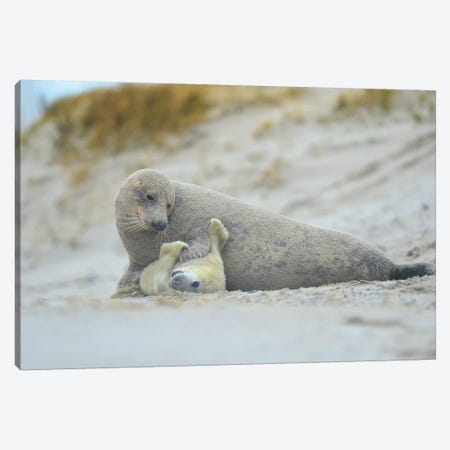 Grey Seals - Motherlove Canvas Print #ELM254} by Elmar Weiss Canvas Wall Art