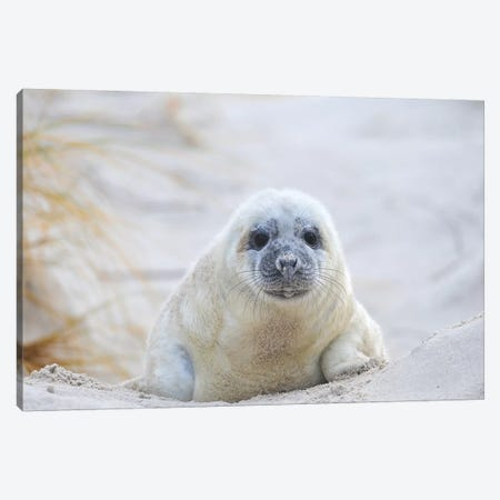 Grey Seal Baby Canvas Print #ELM258} by Elmar Weiss Art Print