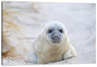 Grey Seal Baby Canvas Art Print