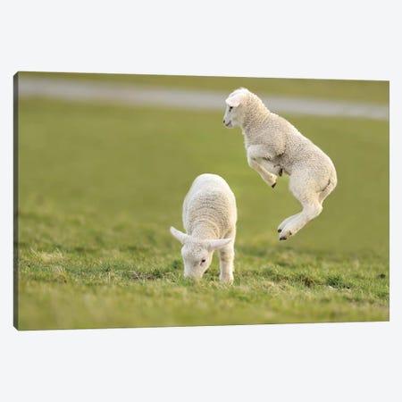 Jumping Lamb IV 3-Piece Canvas #ELM278} by Elmar Weiss Canvas Art Print