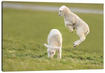 Jumping Lamb IV Canvas Art Print