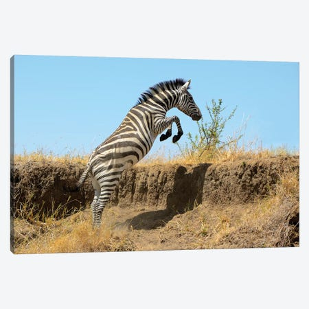 Jumping Zebra Canvas Print #ELM288} by Elmar Weiss Canvas Art