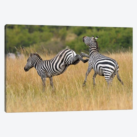 Kicking Zebra Canvas Print #ELM289} by Elmar Weiss Canvas Artwork