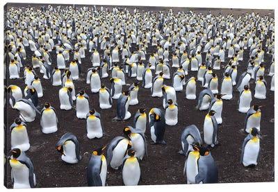 King Penguin Colony Canvas Art Print