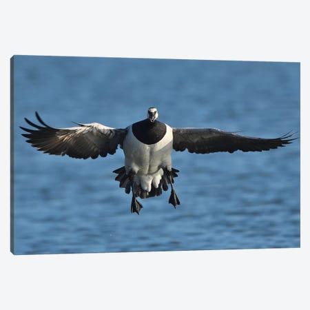 Landing Barnacle Goose In Flight Frontal Canvas Print #ELM292} by Elmar Weiss Art Print
