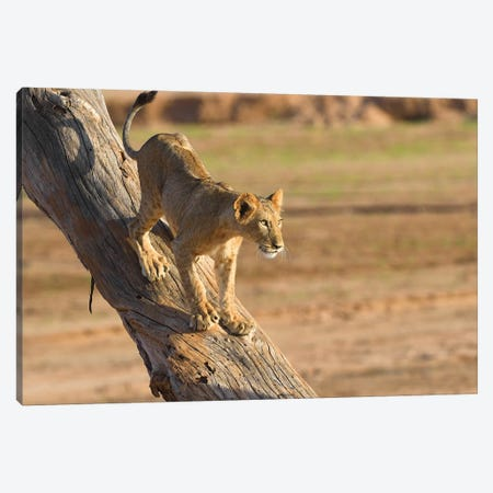 Lion Cub On A Tree Canvas Print #ELM297} by Elmar Weiss Canvas Art