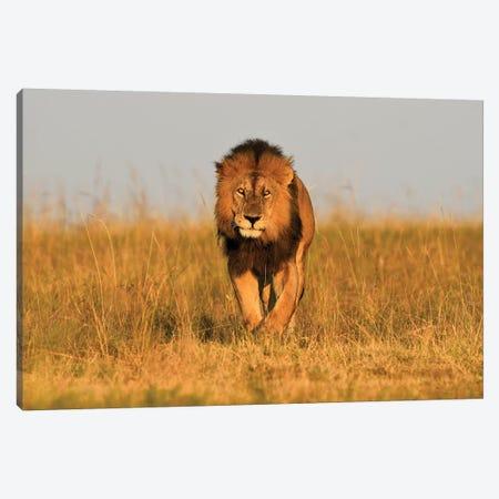 Lion King Frontal Canvas Print #ELM298} by Elmar Weiss Canvas Art Print