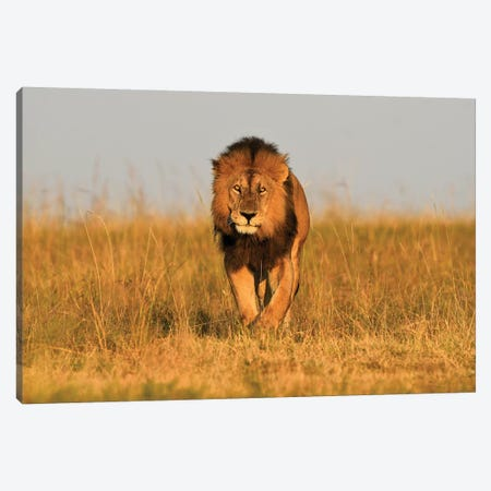 Lion King Frontal Canvas Print #ELM298} by Elmar Weiss Canvas Art Print