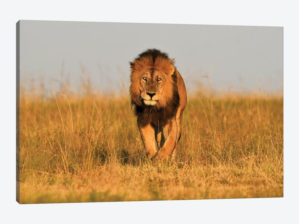 Lion King Frontal by Elmar Weiss 1-piece Canvas Wall Art