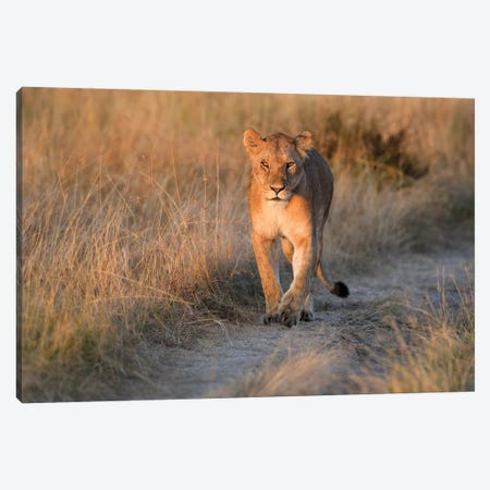 Lioness Frontal Canvas Print #ELM303} by Elmar Weiss Canvas Art Print